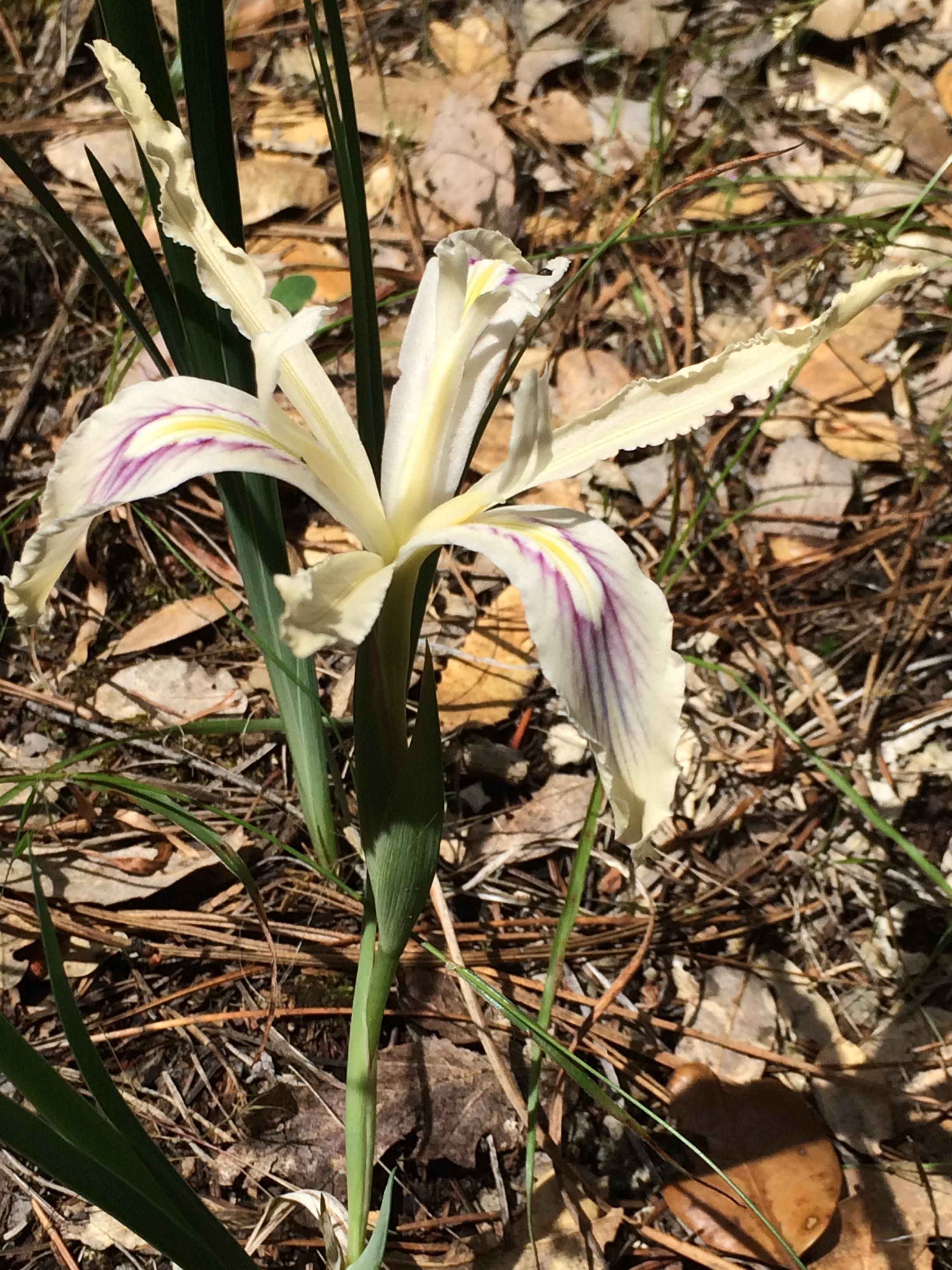 Iris_tenuissima_1