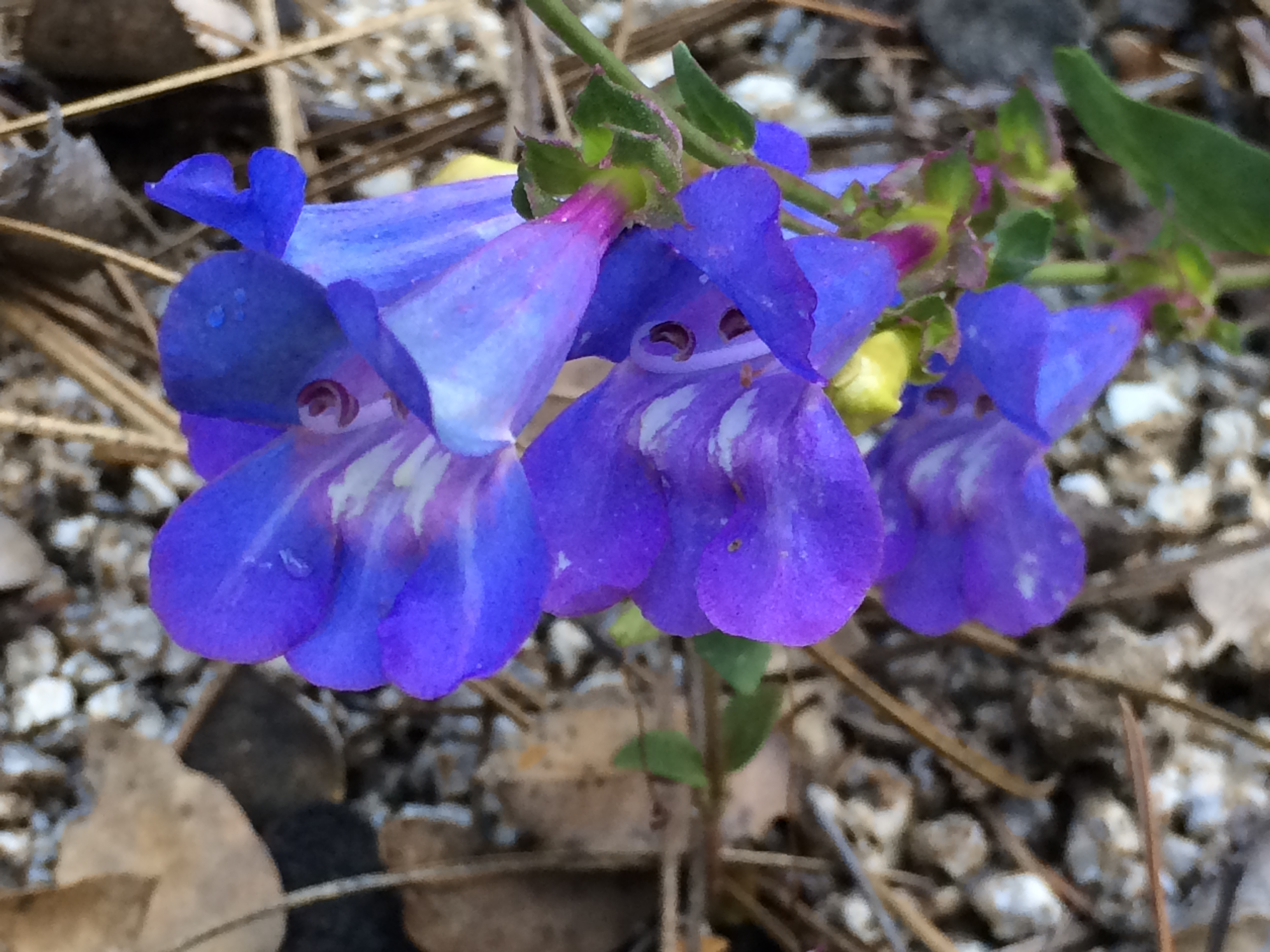 Penstemon_azureus