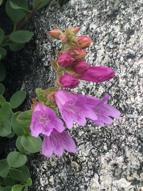 Penstemon_newberryi