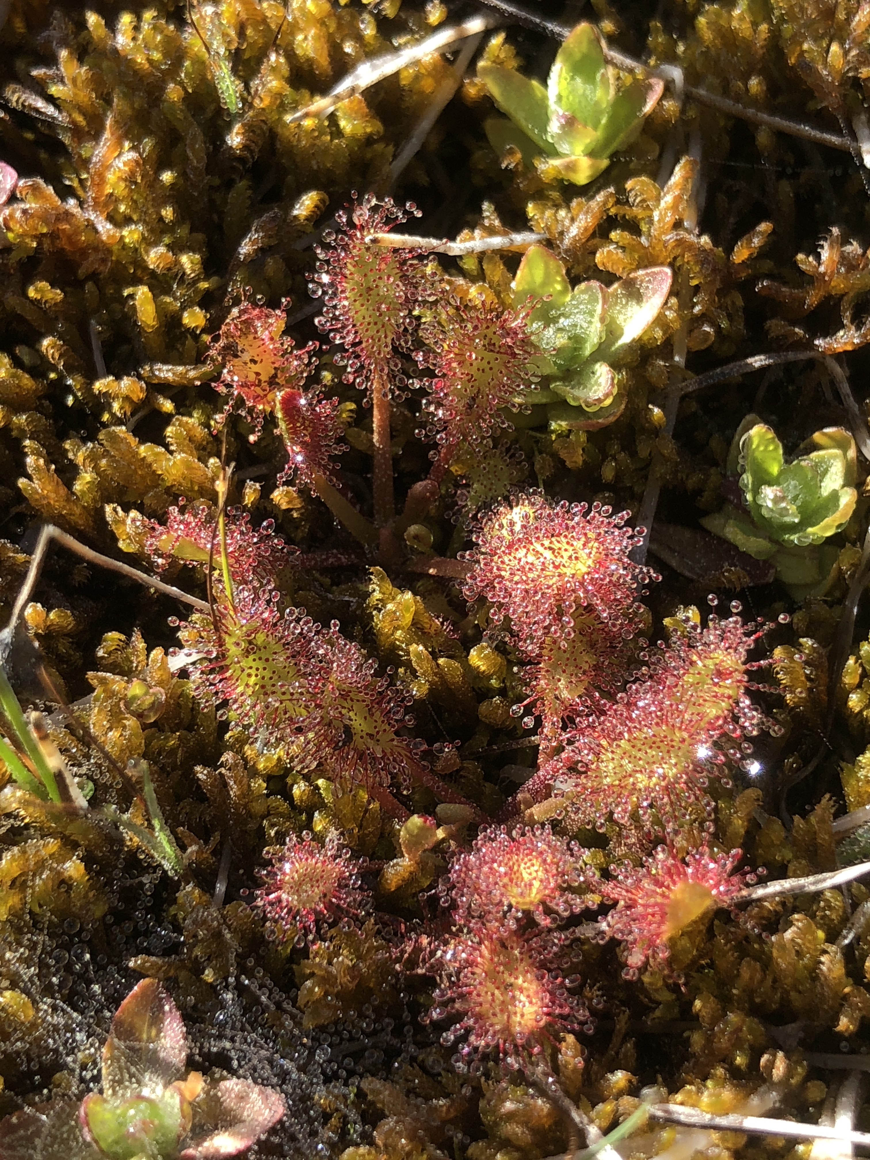 1_Drosera_rotundifolia